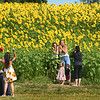 BRYAN EATON/Staff Photo. Once again the huge sunflower bed planted by Colby Farm on Scotland Road in Newbury is drawing people from afar to have their pictures taken among the sea of yellow. There is no parking along the street, but is at the rear of the farmstand.