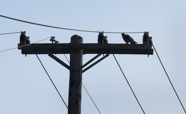 BRYAN EATON/Staff Photo. After its release, the falcon flew around and settled on this utility pole on the Wilkinson Bridge.