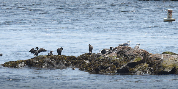BRYAN EATON/Staff Photo. Seagulls and cormorants flock together on rocks off the Salisbury Town Pier on Ring's Island as the excitement of Yankee Homecoming continues 200 yards away across the Merrimack River.