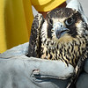 BRYAN EATON/Staff Photo. After getting a good health report from a veterinarian, the falcon is ready for release.