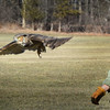 BRYAN EATON/Staff photo. Jane Kelly of On The Wing releases the owl in a field on Hale Street in Newburyport.