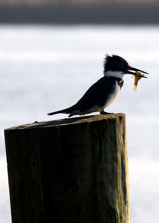 Salisbury: A belted kingfisher holds a fish while resting at Salisbury Town Pier Sunday. Jim Vaiknoras/staff photo