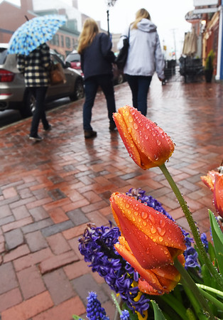 BRYAN EATON/Staff photo. Raindrops cling to tulips as April showers bring May flowers even in window boxes on State Street in Newburyport. Rain should break for the end of the week as the weather warms, though a shower is still possible.