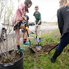 "BRYAN EATON/Staff photo. Students at the River Valley Charter School in Newburypor plant one of two Amelanchier trees, also known as ""service berry,"" which were donated by SLS Landscape and Design for Arbor Day. The trees are native to the northeast and students also received saplings to take home with them."