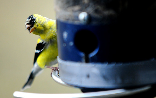 JIM VAIKNORAS/Staff photo A goldfinch enjoys a meal at a bird feeder at the Joppa Flats Education Center in Newburyport Friday.
