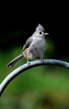 JIM VAIKNORAS photo A tufted titmouse perched on a iron fence on a recent moning.