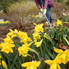 BRYAN EATON/Staff photo. Agnes Manning, a former art teacher in the Newburyport School system, rakes leaves and debris from flower beds containing daffodils at Atkinson Common on Wednesday afternoon. She volunteers for the Newburyport Parks Commission.