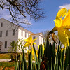 JIM VAIKNORAS/Staff photo Daffodils bloom outside of the Rocky Hill Meeting House in Amesbury Monday afternoon.