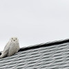 JIM VAIKNORAS/Staff photo A snowy white owl greets visitors at the entrance to Salisbury Beach Reservation Tuesday morning.
