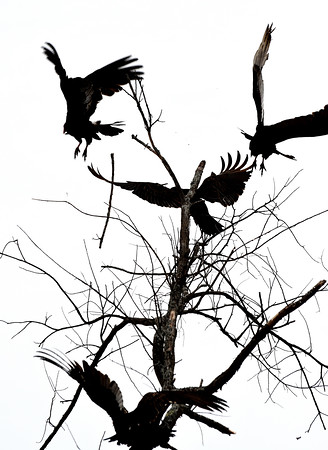 JIM VAIKNORAS/Staff photo A volt of turkey vultures fly off from  a dead tree along Scoltland Road in Newbury Saturday morning.