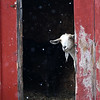JIM VAIKNORAS/Staff photo A goat at the Colby Farm on Scotland Road in Newbury looks out in disbelief as snow flakes fall Thursday morning.