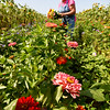 BRYAN EATON/Staff photo. Elaine Drolet picks flowers for her stand at Brown Spring Farm on Main Street in West Newbury. The farm, known for its array of flowers, also sells produce from cucumbers, beans and beets and more.