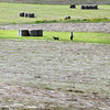 "BRYAN EATON/Staff photo. A lady and her dog walk along the fields at Woodsom Farm in Amesbury on Thursday past bales of hay and that which has been ""tedded."" Tedding is where cut hay is moved around with rotating tines attached to a tractor that spread the hay after a day or two to speed up the drying process."