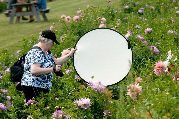 JIM VAIKNORAS/Staff photo Sally Gaffney of Lawrence, uses a reflector to enhance the lighting on dahlias she is photographing at the Tendercrop Farm in Newbury Saturday afternoon.