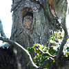 BRYAN EATON/Staff photo. The Kent Street screech owl rests in the cavity  of a maple tree.