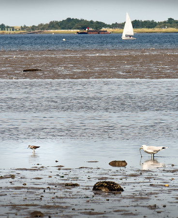 BRYAN EATON/Staff photo. A really low tide in the Joppa Flats in Newburyport on Thursday brought out this member of the sandpiper family, greater yellowlegs, left, and a ring-billed gull to forage for food as a sailboat from the American Yacht Club moves along in the distance.