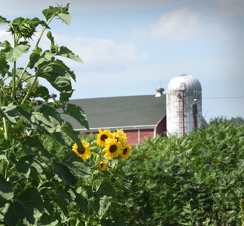 BRYAN EATON/Staff photo. Sunflowers are in bloom at the Amesbury Community Garden at Battis Farm under a silo at a horse farm in the distance.
