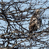BRYAN EATON/Staff photo. A red-tailed hawk peers out from branches at Salisbury Beach State Reservation looking for some pray. It won't be long before it has some competition from returning snow owls.