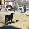 BRYAN EATON/Staff photo. City officials and a crew from Tendercrop Farm come to retrieve the young steer.