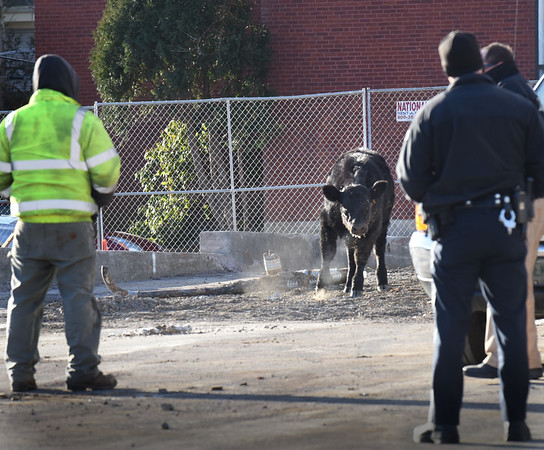 BRYAN EATON/Staff photo. The steer pounded and dragged his right hoof threatening to charge, which he didn't do, as official wait personnel from Tendercrop Farm to retrieve the wayward bovine.