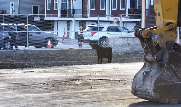 BRYAN EATON/Staff photo. A steer, one of several that escaped from Tendercrop Farm in Newbury, made its way to downtown Newburyport into the construction site of the new parking garage where the gates were closed to keep it from wandering further before farm workers retrieved the animal.