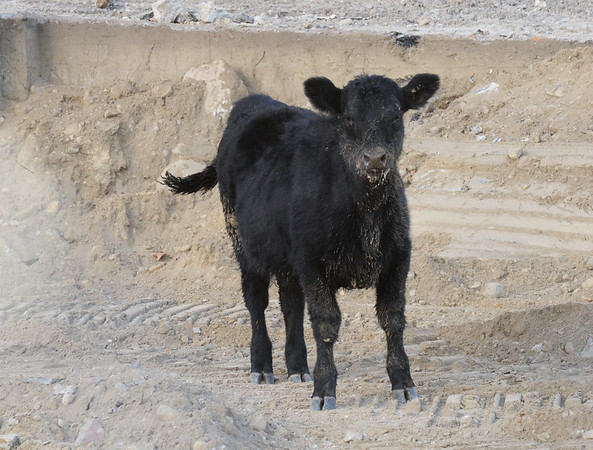 BRYAN EATON/Staff photo. One of the young steer that spent Wednesday night on the run was corraled in the construction site of the new parking garage in Newburyport.
