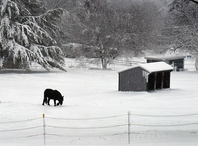 BRYAN EATON/Staff Photo. An equine uses its hoof to clear snow looking for grass on Congress Street in Amesbury.
