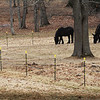 BRYAN EATON/Staff photo. Two equines graze off Congress Street on the Amesbury and Salisbury town line on Wednesday before snow fell starting around noon. More snow could arrive sometime on Friday.