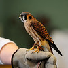 JIM VAIKNORAS/Staff photo An American kestrel held by Susan St John from the Drumlin Farm during a presentation on raptors at the Joppa Flats Audubon Center during the annual Eagle Festival Saturday afternoon.