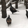 JIM VAIKNORAS/Staff photo A small rafter of turkeys scamper off through the snow near Woodsom Farm in Amesbury Sunday morning.