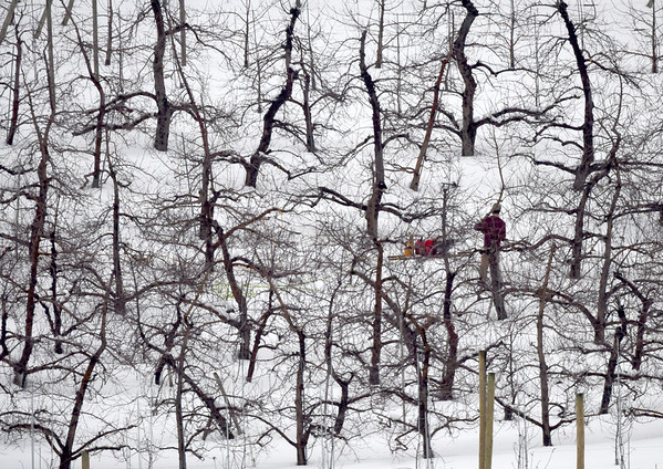 BRYAN EATON/Staff photo. A worker at Cider Hill Farm in Amesbury stands among apple trees while pruning on Wednesday morning. The farm had a good crop of apples last year, losing the peach crop to a killing frost after buds had started to develop during a warm spell.