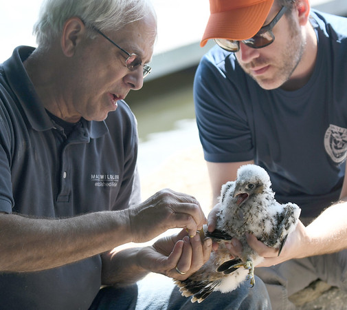 JIM VAIKNORAS/Staff photo Tom French ,left, and Dave Paulson, both of Mass Wildlife, tag one of 3 fledgling peregrine falcons Friday morning from under the Gillis Bridge in Newburyport.