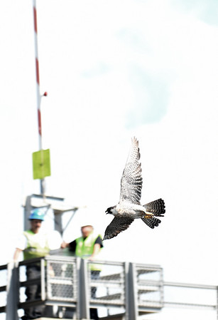 JIM VAIKNORAS/Staff photo A nervous adult peregrine falcon circles as it's 3 fledgling are captured and tagged Friday morning under the Gillis Bridge in Newburyport.