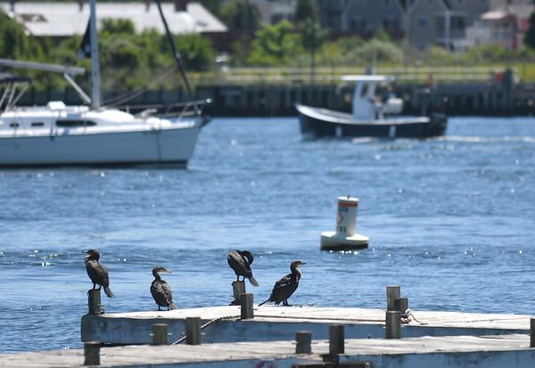 JIM VAIKNORAS/Staff photo A quartet of cormorants relax at docks near the Salisbury Town Pier as boat glides by on the Merrimack River Thursday afternoon.