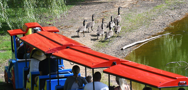 JIM VAIKNORAS/Staff photo The little train chases a gaggle of geese around the Frog Pond at Yankee Homecoming's Old-Fashioned  Sunday at the Bartlet Mall in Newburyport.