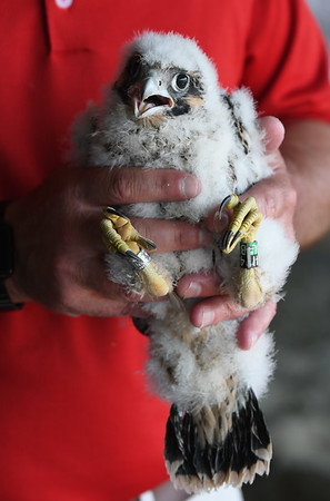 JIM VAIKNORAS/Staff photo  One of 3 fledgling peregrine falcons being tagged Friday morning under the Gillis Bridge in Newburyport.