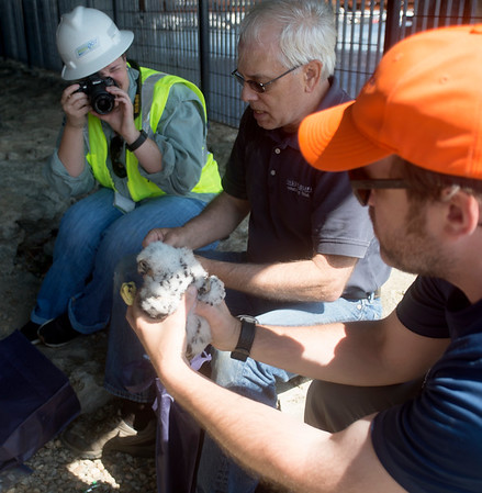 JIM VAIKNORAS/Staff photo Sandy Sprague of Mass DOT takes photos as Tom French ,left, and Dave Paulson, both of Mass Wildlife, tag one of 3 fledgling peregrine falcons Friday morning from under the Gillis Bridge in Newburyport.