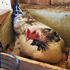BRYAN EATON/Staff photo. Laying hen at work.