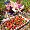BRYAN EATON/Staff photo. Hugh McDonnell, 1, tosses a strawberry, missing one bite, into the box as his sister Vivienne, 5, samples one. They were on an outing at Cider Hill Farm in Amesbury on Tuesday afternoon with their parents Ryan and Caroline of Beverly. Though there are places in their area for pick-your-own, they like coming to Amesbury as Ryan grew up nearby in Groveland.
