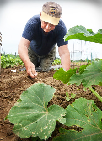 BRYAN EATON/Staff photo. Bob Morrill of Amesbury sows some carrot seed behind his well established summer squash at the Amesbury Community Garden at Battis Farm on Tuesday morning. He's been planting there almost as long as the garden has been established and has been getting help with the rains of late.