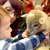JIM VAIKNORAS/Staff photo Caden Goulet ,1, and his mom Daniela meet Coal the baby goat at the Senior Center in Amesbury. About 40 ppeople showed up to meet and pet the animals brought by Animal Craze Traveling Farm Friday. Along with baby goats , they had baby pigs , ducks, rabbits and chickens.