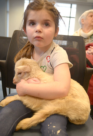 JIM VAIKNORAS/Staff photo Morgan Nikas, 4, holds Timber at the Senior Center in Amesbury. About 40 people showed up to meet and pet the animals brought by Animal Craze Traveling Farm Friday. Along with goats , they had piglets , ducks, rabbits and chickens.