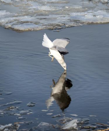BRYAN EATON/Staff photo. Seagulls dive for fish along the Merrimack River.