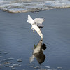 BRYAN EATON/Staff photo. Seagulls dive for fish along the Merrimack River.