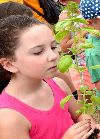 BRYAN EATON/Staff photo. Kenzie Cameron, 6, of Amesbury takes in the smell of a basil plant, which the children commented on, before putting it into the ground.