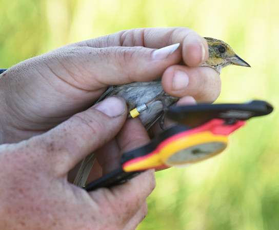 BRYAN EATON/Staff photo. Biologist Bri Benvenuti of the Rachael Carson National Wildlife Refuge in Maine measures and weighs a saltmarsh sparrow that's already been banded.