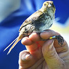 BRYAN EATON/Staff photo. Biologists at the Parker River National Wilfife Refuge banded and weighed a measured saltmarsh sparrows on Plum Island.