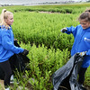 BRYAN EATON/Staff photo. Ellie Hoffmeister, left, and Jessica McAward, both of Needham, put pepperweed into plastic bags in the Plum Island Basin.