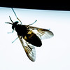 JIM VAIKNORAS/Staff photo  A green head fly is backlit on the inside of a windshield on Plum Island.