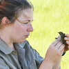 BRYAN EATON/Staff photo. Biologist Bri Benvenuti of the Rachael Carson National Wildlife Refuge in Maine checks out a saltmarsh sparrow that's already been banded.